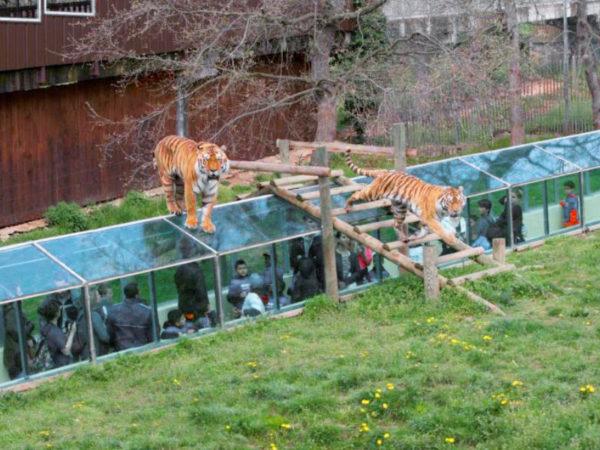 Safari de Peaugres cage aux tigres